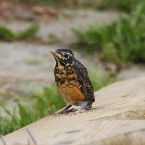 A baby robin that was hanging out with us.  The mother was not happy...
